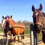 Pferde auf dem Paddock